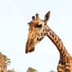 Giraffe Mareting with Edwin Gerace